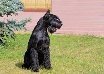 Giant Schnauzer looks left. The Giant Schnauzer stands on the green grass in city park.