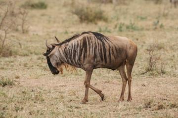Buffalo on Safari in Tanzania