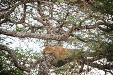 Lion Sleeps in tree