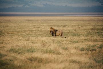 Lion On Safari in Tanzania