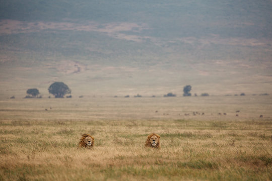 Lions on Safari in Tanzania
