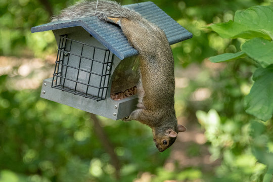 Squirrel hanging upside down on birdfeeder