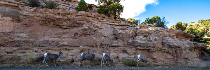 Four Desert Bighorn Sheep graze between Rim Rock Drive and a cliff in Colorado National Monument near Grand Junction