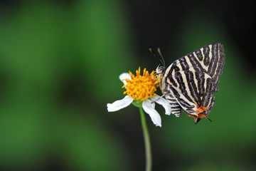 Butterfly from the Taiwan ((Spindasis lohita formosana)Tiger gray butterfly