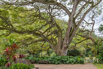 Giant Trees at Waimea Valley Hawaii