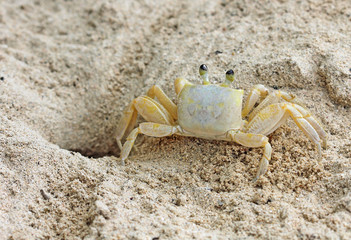 Crab - back view, Jamaica