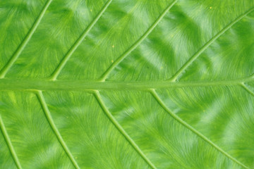 close up on green leaves texture with leaf vein
