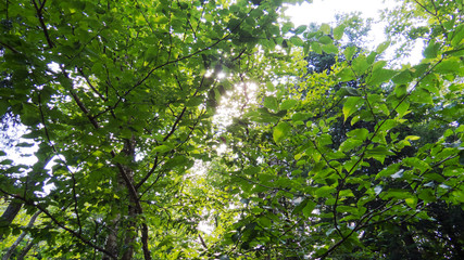 Vibrant green treetops in the bright summer sunlight of the Province of Quebec, Canada.