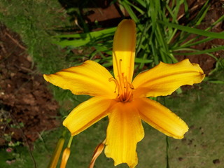 day lily also called as Hemerocallis, Tawny Daylily, Tiger Lily