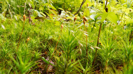 Tiny natural vegetation near the ground of a Canadian forest in the Province of Quebec. - From the Regional park of the Massif du Sud.