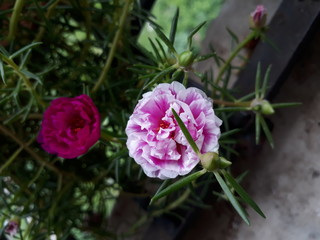 Moss Rose also called as Portulaca grandiflora, Indian table rose, 9 o'clock flower, rose moss, ten o'clock, Mexican rose, sun rose, rock rose
