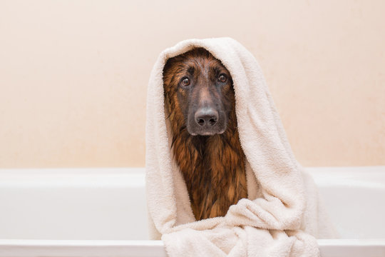 A nice German shepherd dog takes a bath with soap. Lovely pet. Hygiene and care of animals.