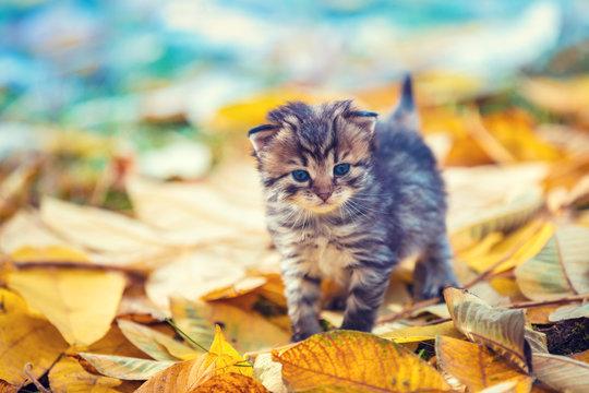 Little kitten walking outdoor on the fallen leaves in the autumn garden