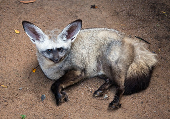 Bat-eared Fox (Otocyon megalotis) is resting on the sand.