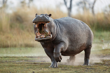 Wall Mural - Aggressive hippo male attacking the car. Huge hippo male intimidating the opponent. Wild animal in the nature habitat. African wildlife. This is Africa. Hippopotamus amphibius.