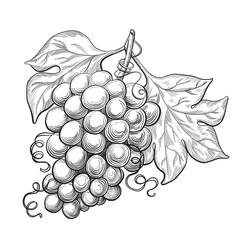 Sketch ink vintage grape with leaves illustration, draft  drawing, black isolated on white background. Food graphic etching design.