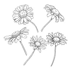 Botanical camomile flowers set, hand drawn monochrome etching sketch isolated on white background. Vintage engraving vector illustration, pen and ink drawing.