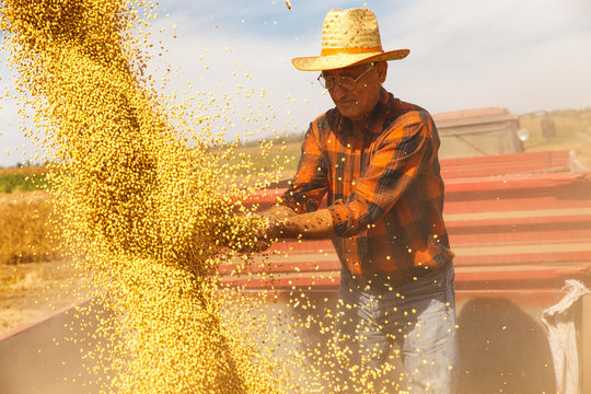 Senior farmer in tractor trailer supervises the soybean harvest.