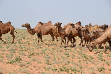 camel mongol