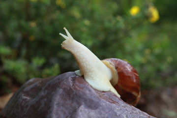 Large African snail for cosmetology