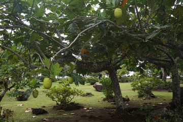 bread tree fruit in polynesia