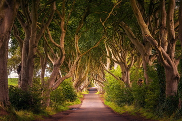 The Dark Hedges in Northern Ireland at sunset Fototapete