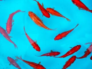 Red goldfish at Nowruz, Iranian New Year