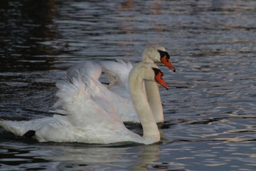 Swan pair swims in the water