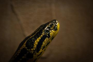 Anaconda Gialla