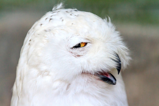 Close up portrait of the Snowy owl (Bubo scandiacus), native to Arctic regions in North America and Eurasia.