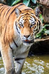 Close up of the Siberian tiger (Panthera tigris altaica), also called Amur tiger
