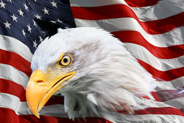 Beautiful close up portrait of an American bald Eagle (Haliaeetus leucocephalus) with an American flag