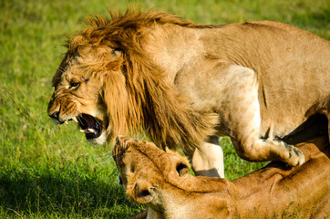 lion and lioness fighting in Sweetwaters, Kenya