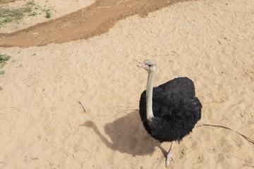 Closeup ostrich in a farm.