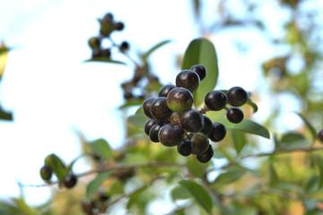 Reife schwarze Beeren am Strauch im Herbst