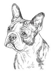 Boston terrier vector hand drawing portrait