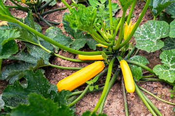 yellow zucchini in the vegetable garden