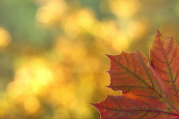 Red maple lef in autumn, seasonal background