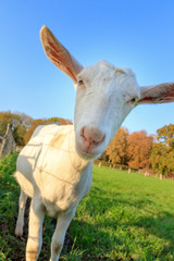 Close up portrait of a funny curious dutch white goat (Capra hircus) in the Netherlands