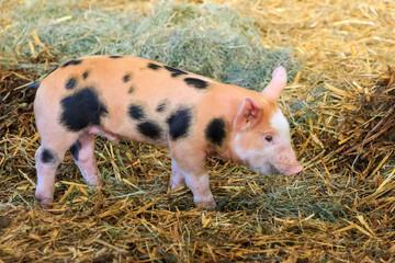 Very cute little newborn piggy pig (sus scrofa) in a petting zoo in the Netherlands