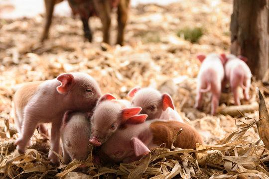 Leitões rosa, porquinhos recém-nascidos na fazenda