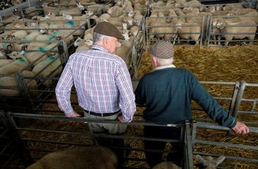 Farmers wearing flat caps attend sheep sales at the livestock market in Melton Mowbray