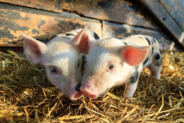 Very cute little newborn piggy pigs (sus scrofa) in a petting zoo in the Netherlands