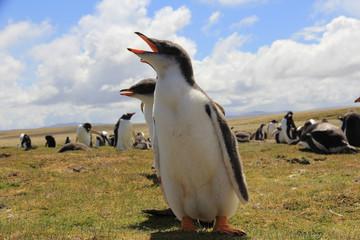 Gentoo penguin chicks