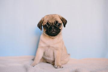 Puppy Pug Black, Fawn