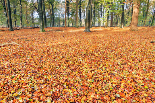 Beautiful vibrant colored leaves on the forest floor in autumn in the Netherlands