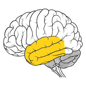 Temporal lobe of human brain anatomy side view flat