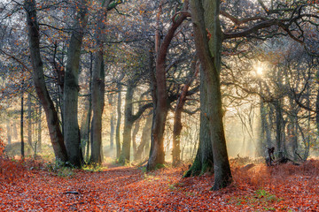 Beautiful forest in autumn in the Netherlands with an amazing sunrise and a mysterious atmosphere