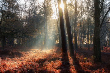Beautiful mysterious morning sunrise in autumn in a forest in the Netherlands with vibrant red and brown ferns and birch trees