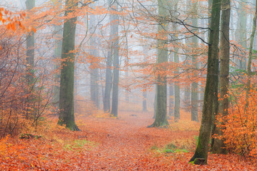 Beautiful mysterious lane in autumn in a forest in the Netherlands with morning fog and vibrant leafs
